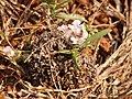 Lepidagathis sp IMG 8129.jpg