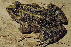 Description de l'image Leptodactylus ocellatus.jpg.