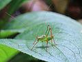 Leptophyes punctatissima, Speckled Bush Cricket.jpg
