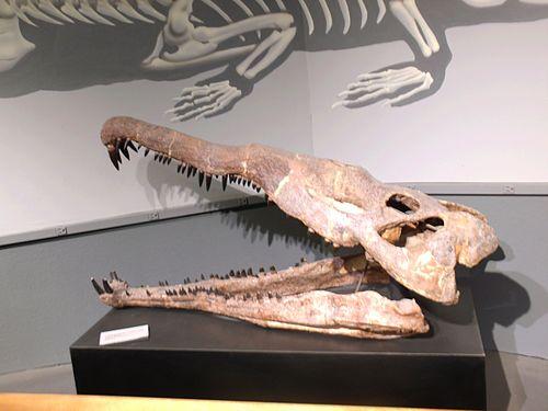 Leptosuchus