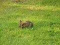 Lepus americanus - Blomidon Provincial Park 04.jpg