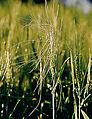 Les Plantes Cultivades. Cereals. Imatge 166.jpg
