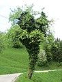 Leskovica pri Smartnem Slovenia - tree.jpg