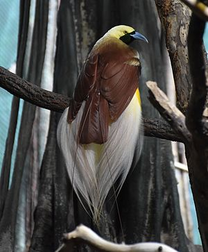 Lesser bird-of-paradise - Male at the Bronx Zoo