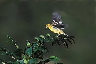 Lesser goldfinch - Image: Lesser Goldfinch Landing, Santa Fe