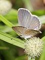 Lesser Grass Blue (Zizina otis) (6262652851).jpg