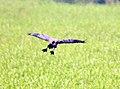 Lesser Whistling Duck in flight, Janakpur, Nepal.jpg