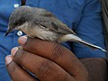 Lesser Whitethroat (4820467697).jpg