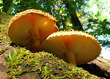 Two orange-yellow mushroom seen from below and growing on wood. One has a visible fibrous volva, and both have adnexed gills. Part of the cap's top surface can be seen, and is heavily textured.