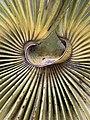 Leucothrinax morrisii hastula.jpg