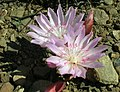 Lewisia rediviva on Tronsen Ridge.jpg