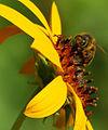 Lexdenn - bee at work (by).jpg