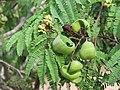 Libidibia coriaria - Divi-divi Tree - Caesalpinia coriaria - WikiSangamotsavam 2018, Kottappuram, Kodungalloor (9).jpg