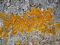 Lichen growing on harsh rock of Soderskar lighthouse island.jpg