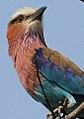 Lilac-breasted Roller, Coracias caudatus at Borakalalo National Park, South Africa (9838157725).jpg