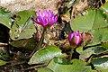 Lilie wodne w ogrodzie Pałacu Monsunowego w Udajpurze, 20191208 1211 7546.jpg