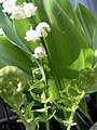 Lily of the valley (151268963).jpg