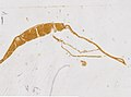 Limulus polyphemus (YPM IZ 098242) 003.jpeg