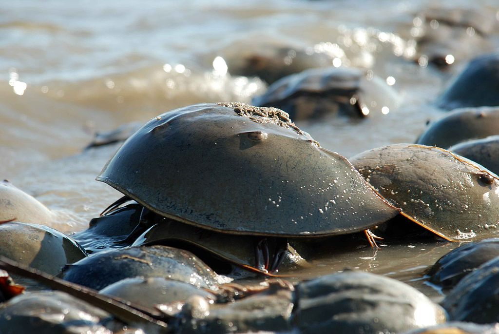 Limulus polyphemus horseshue crab on coast.jpg