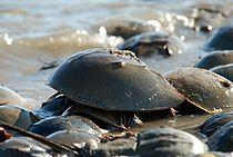 Limulus polyphemus horseshue crab on coast.jpg