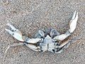Liocarcinus vernalis 106974231.jpg