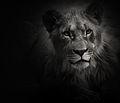Lion cub sw.jpg