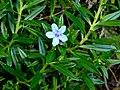 Lithodora rosmarinifolia1600.JPG