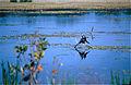 Little Pied Cormorant (Phalacrocorax melanoleucos) (9855063345).jpg