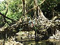 Living root bridge.jpg