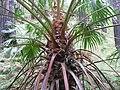 Livistona australis 2.jpg