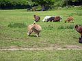 Llamas (3521721663).jpg