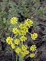Lomatium grayi-3-11-05.jpg