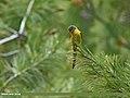 Long-tailed Minivet (Pericrocotus ethologus) (30359599522).jpg