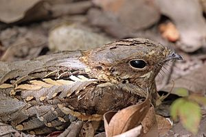Long-tailed nightjar - male C. c. climacurus Gambia