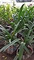 Long lily 01.jpg
