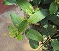 Lonicera japonica 12a.JPG