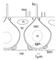 Lorenzini Sensory Epithelium.png