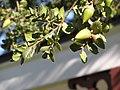 Los Encinos live oak.jpg