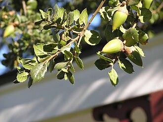 Quercus agrifolia - Coast live oak at Rancho Los Encinos in the San Fernando Valley