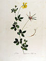 Lotus uliginosus — Flora Batava — Volume v13.jpg