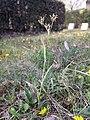 Luzula campestris sl40.jpg