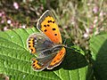 Lycaena phlaeas (Lycaeinidae) (Small Copper) - (imago), Molenhoek, the Netherlands.jpg