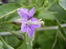 LyciumBarbarum-bloem-hr.jpg