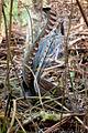 Lyrebird Scratching (4782580812).jpg