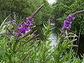 LythrumSalicaria-flowers-1mb.jpg