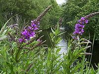 LythrumSalicaria-flowers-1mb