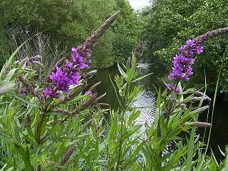 <i>Lythrum</i> genus of plants