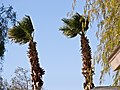 MEXICAN FAN PALM (6963136641).jpg