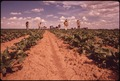 MIGRANT WORKERS WEED SUGAR BEETS FROM DAWN TO DUSK FOR $2.00 AN HOUR - NARA - 543862.tif