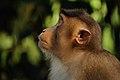 Macaque at Sepilok orangutan sanctuary - Sabah - Borneo - Malaysia - panoramio.jpg